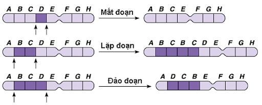 Ví dụ về đột biến cấu trúc nhiễm sắc thể